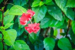 Το κόκκινο διπλό vermillion πετάλων λουλούδι υβριδικά Hibiscus Rosa- Στοκ Εικόνες