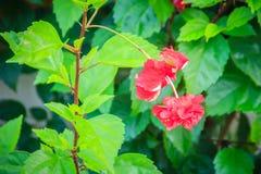 Το κόκκινο διπλό vermillion πετάλων λουλούδι υβριδικά Hibiscus Rosa- Στοκ Φωτογραφίες