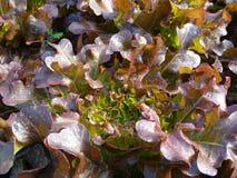 Το κόκκινο δρύινο μαρούλι έχει τα πυκνά κόκκινα φύλλα στοκ φωτογραφία