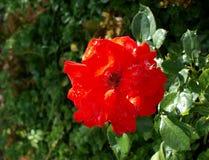 το κόκκινο κήπων αυξήθηκε στοκ εικόνα