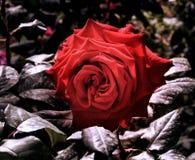 το κόκκινο κήπων αυξήθηκε Στοκ Εικόνες