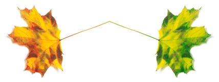 Το κόκκινο και πράσινος που κιτρινίζουν σφένδαμνος-βγάζουν φύλλα Στοκ φωτογραφία με δικαίωμα ελεύθερης χρήσης