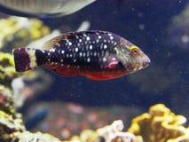 Το κόκκινο και τα ψάρια παπαγάλων στο ενυδρείο Gosier στη Γουαδελούπη στοκ εικόνες με δικαίωμα ελεύθερης χρήσης