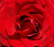 το κόκκινο λουλουδιών αυξήθηκε Στοκ Εικόνες