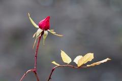 το κόκκινο λουλουδιών &a Στοκ Φωτογραφία