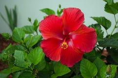 Το κόκκινο λουλούδι με πράσινο βγάζει φύλλα Στοκ Εικόνες