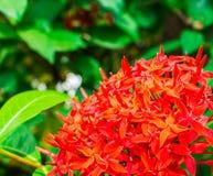 Το κόκκινο λουλούδι rauvolfia Στοκ εικόνες με δικαίωμα ελεύθερης χρήσης