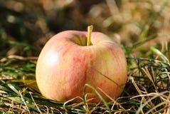 Το κόκκινο μήλο είναι σε μια ξηρά χλόη Στοκ Φωτογραφία