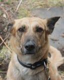 Το κόκκινο μαύρο επισημασμένο χαριτωμένο σκυλί που εξετάζει τη κάμερα κάνει το πρόσωπο να αναρωτηθεί κάτι και στεμένος στην παραλ Στοκ εικόνα με δικαίωμα ελεύθερης χρήσης
