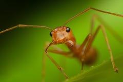 Το κόκκινο μυρμήγκι ανοίγει το στόμα του στοκ εικόνες