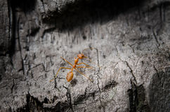 Το κόκκινο μυρμήγκι Στοκ Φωτογραφία
