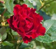 το κόκκινο λουλουδιών &a Στοκ Εικόνες