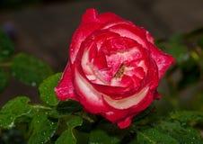 το κόκκινο λουλουδιών &a Στοκ φωτογραφία με δικαίωμα ελεύθερης χρήσης