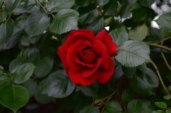 Το κόκκινο λουλούδι αυξήθηκε Στοκ φωτογραφίες με δικαίωμα ελεύθερης χρήσης