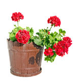 Το κόκκινο λουλούδι γερανιών σε ένα καφετί δοχείο λουλουδιών, κλείνει επάνω το άσπρο υπόβαθρο Στοκ Φωτογραφία