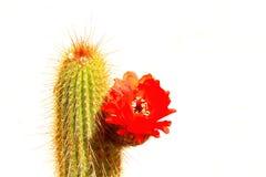 Το κόκκινο λουλούδι κάκτων ερήμων απομόνωσε το λευκό Στοκ Εικόνες