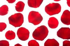 το κόκκινο πετάλων αυξήθη& Στοκ εικόνες με δικαίωμα ελεύθερης χρήσης