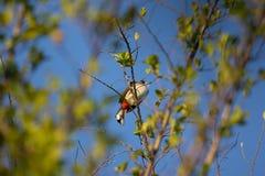 Το κόκκινο το πουλί Bulbul στο δέντρο Στοκ φωτογραφία με δικαίωμα ελεύθερης χρήσης