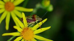 Το κόκκινο πράσινο ζωύφιο κάθεται στα κίτρινα λουλούδια στον άγριο τομέα απόθεμα βίντεο