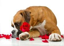 το κόκκινο σκυλιών μπόξερ αυξήθηκε Στοκ Εικόνες