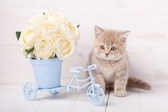Το κόκκινο σκωτσέζικο γατάκι εγκαθιστά τακτοποιημένος έναν διακοσμητικό με την ανθοδέσμη των τριαντάφυλλων Στοκ Εικόνα