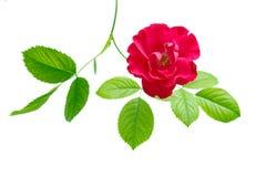 Το κόκκινο τσάι αυξήθηκε με τα φύλλα Στοκ φωτογραφίες με δικαίωμα ελεύθερης χρήσης