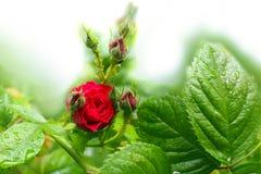 Το κόκκινο τσάι αυξήθηκε με τα φύλλα Στοκ Φωτογραφίες