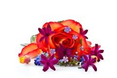 το κόκκινο υάκινθων λουλουδιών αυξήθηκε Στοκ εικόνα με δικαίωμα ελεύθερης χρήσης