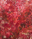 Το κόκκινο φθινόπωρο αφήνει το ζωηρόχρωμο υπόβαθρο Στοκ εικόνες με δικαίωμα ελεύθερης χρήσης