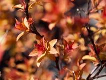 Το κόκκινο φύλλο της άνοιξη στοκ φωτογραφίες