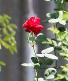 το κόκκινο φύσης αυξήθηκε Στοκ φωτογραφίες με δικαίωμα ελεύθερης χρήσης