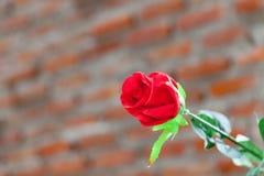 το κόκκινο φύλλων αυξήθηκε Στοκ Εικόνα