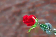 το κόκκινο φύλλων αυξήθηκε Στοκ φωτογραφία με δικαίωμα ελεύθερης χρήσης