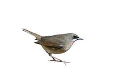 Το κόκκινο Beautyful το πουλί Στοκ φωτογραφίες με δικαίωμα ελεύθερης χρήσης