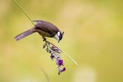 Το κόκκινο Bulbul τρώγοντας το λουλούδι Στοκ Φωτογραφίες