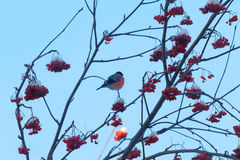 Το κόκκινο bullfinch κάθεται στον κλάδο δέντρων Στοκ Εικόνες