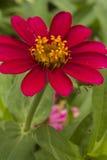 Το κόκκινο burgundy λουλούδι Στοκ εικόνα με δικαίωμα ελεύθερης χρήσης
