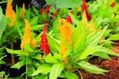 το κόκκινο cockscomb το λουλούδι ή το argentea Celosia όμορφο Στοκ Εικόνες