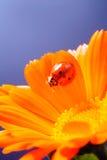 Το κόκκινο ladybug επάνω στο κίτρινο λουλούδι, λαμπρίτσα σέρνεται στο μίσχο του σχεδίου Στοκ εικόνες με δικαίωμα ελεύθερης χρήσης
