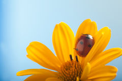 Το κόκκινο ladybug επάνω στο κίτρινο λουλούδι, λαμπρίτσα σέρνεται στο μίσχο του σχεδίου Στοκ Φωτογραφίες