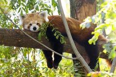 Κόκκινο panda που στηρίζεται σε ένα δέντρο Στοκ φωτογραφία με δικαίωμα ελεύθερης χρήσης