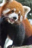 Το κόκκινο panda αφορά το δέντρο Στοκ Φωτογραφίες