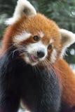 Το κόκκινο panda αφορά το δέντρο Στοκ Εικόνες