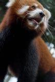 Το κόκκινο panda αφορά το δέντρο Στοκ Φωτογραφία
