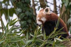 Το κόκκινο panda τρώει σε ένα δέντρο Στοκ Εικόνες