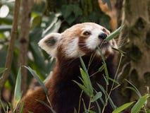 Το κόκκινο panda τρώει σε ένα δέντρο Στοκ Φωτογραφία