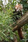 Το κόκκινο panda τρώει σε ένα δέντρο Στοκ φωτογραφίες με δικαίωμα ελεύθερης χρήσης