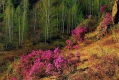 Το κύριο φεστιβάλ άνοιξη στα βουνά Altai Στοκ φωτογραφία με δικαίωμα ελεύθερης χρήσης