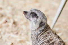 Το λίγο γκρίζο meerkat ακούει προσεκτικά στοκ φωτογραφίες με δικαίωμα ελεύθερης χρήσης