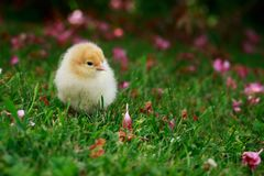 Το λίγο κοτόπουλο Στοκ Εικόνες